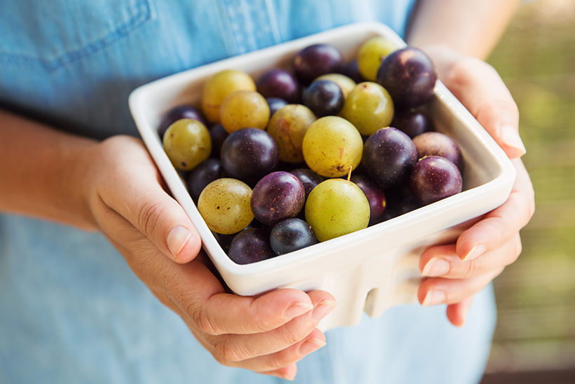Muscadine grapes harvested on the farm