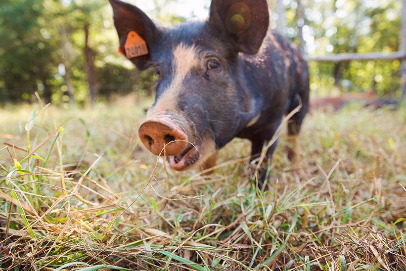 Farm-raised pigs