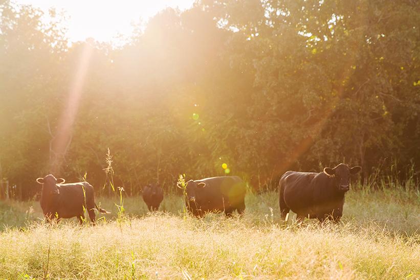 Farm-raised cows