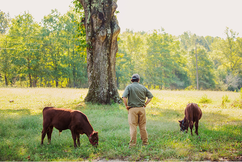 Ross, our director of farm operations, watches his herd